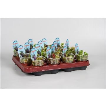 Dionaea muscipula in beker met etiket