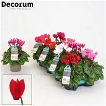 Cyclamen kleinbloemig groenbladig mix Decorum FEEL