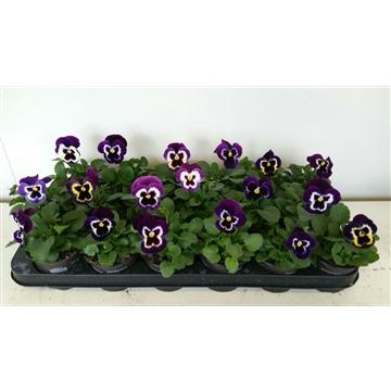 Viola Delta Purple suprise