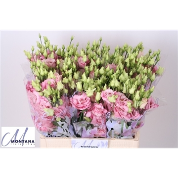 Lisianthus Alissa rosée 60 cm