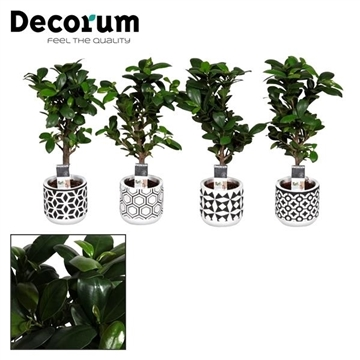 Ficus Microcarpa Ginseng in pot Pamm (Decorum)