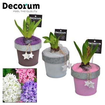 Hyacint Bucket & Border Mini HL17512 [LOVELY COLORS]