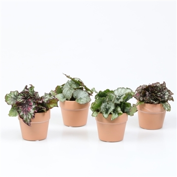 Mini Begonia Rex Mix 6cm clay pot
