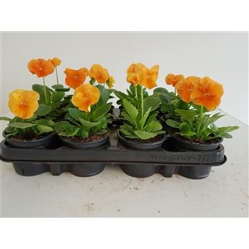 Viola Delta Oranje