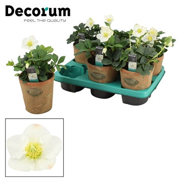 DECORUM-Helleborus Christmas Carol 10,5 cm Old look pot