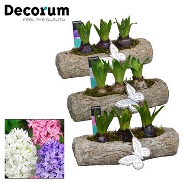 Hyacint Boomstam HL17333 [PURE]