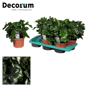 Philodendron Atom (Decorum)