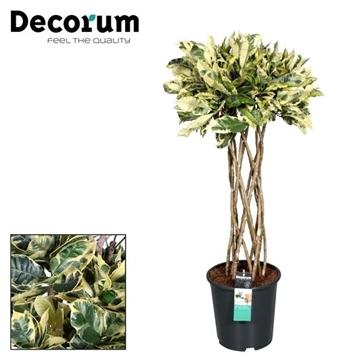 Croton Tamara Koker (Decorum)