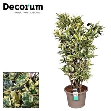 Croton Eburneum vertakt in deco pot (Decorum)