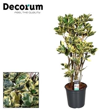 Croton Eburneum op stam vertakt in deco pot 90-100cm (Decorum)