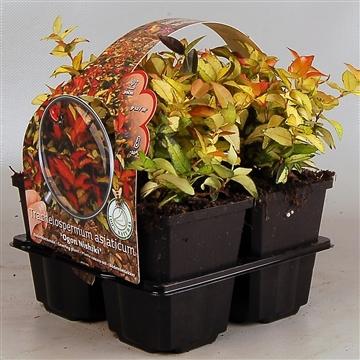 Trachelospermum as. 'Ogon Nishiki'