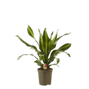 Dracaena 'Burley' (kopstek) / Fair Flora