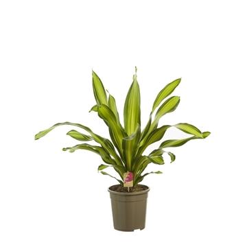 Dracaena 'Charley' (kopstek) / Fair Flora