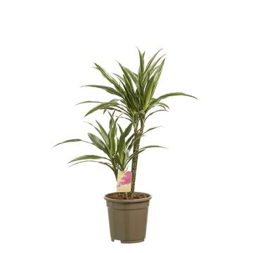 Dracaena deremensis 'Warneckei' 30-10 / Fair Flora
