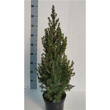 Picea gl Conica