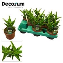 Aloe concinna