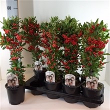 Pyracantha Red Star P14