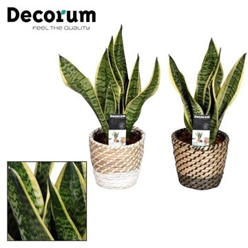 Collectie A Touch of Yellow - Sansevieria in grasmand Donna (Decorum)