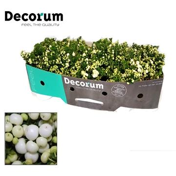 Pernettya Decorum P17cm Wit