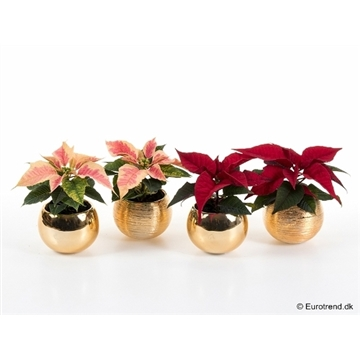 E3094 Euph. Poinsettia RED & MARBLE with ceramic pot (6CM) A1