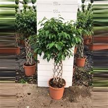 Ficus benjamina - Spalier / Rek