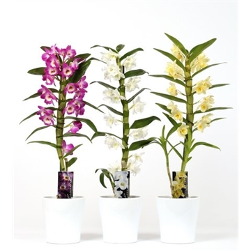 Dendrobium Nobile 1 tak mix 8+ tros in wit keramiek
