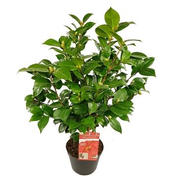 Camellia jap. 'Barbara Morgan' 40+ Knop