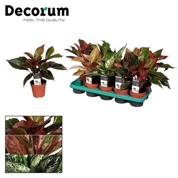 Aglaonema Special mix (Decorum)