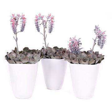 Echeveria cheyenne + knop/bloem in witte vierkante vaaspot