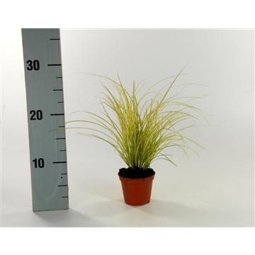 Carex brunnea 'Jenneke' p8