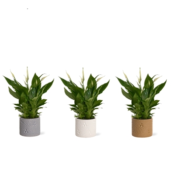 Shades of Natures - Spathiphyllum 13 cm in Febe
