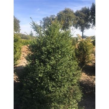 Taxus baccata, plantmaat 250-275 AFTUIN