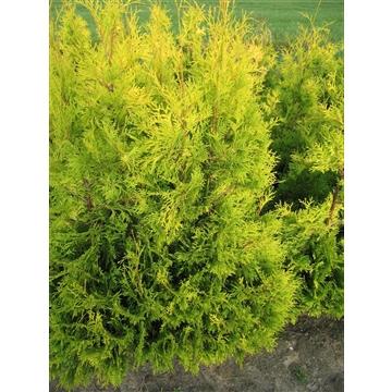 Chamaecyparis lawsoniana 'Ivonne', plantmaat 120-140