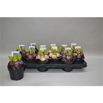 Hyacinthus in 3 kleuren