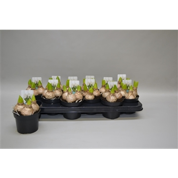 Hyacinthus 'White Pearl'