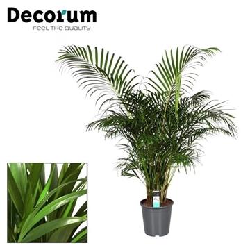 Dypsis lutescens (Areca) (Decorum)