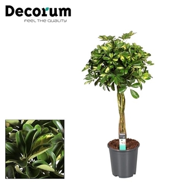 Schefflera Gold Capella multivlecht (Decorum)