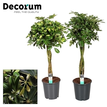 Schefflera multivlecht mix (Gold Capella & Compacta) (Decorum)