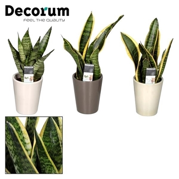 Sansevieria 7 cm in pot Rene (Decorum)