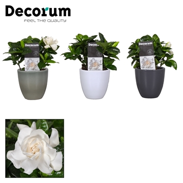 Gardenia 9 cm Julia White/Antraciet/ArmyGreen Royal Offer