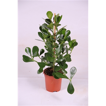 Clusia rosea 'green magic'®