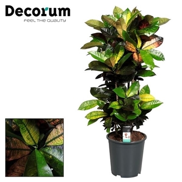 Croton Mrs. Iceton vertakt  (Decorum)