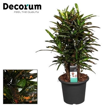 Croton Real Batic vertakt (Decorum)