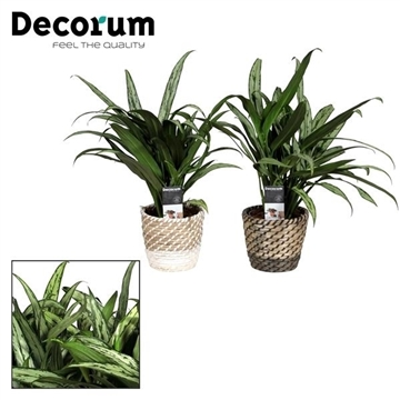 Collectie A Touch of Yellow - Aglaonema in grasmand Donna (Decorum)