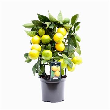 Citrus Lemon op rek