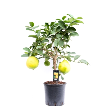 Citrus Lipo