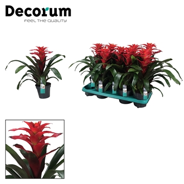 Guzmania Optima Rood (Decorum)