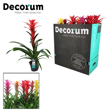 Guzmania Maxima Mix XXL (Decorum)