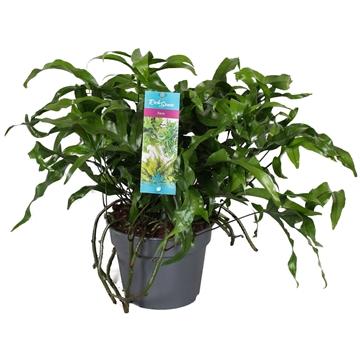 "Microsorum Diversifolium ""kangaroo Fern"""
