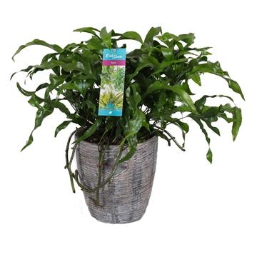 "Microsorum Diversifolium ""kangaroo Fern"" Keramiek"